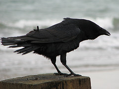 Image courtesy of Flickr Creative Commons - Crow by Danny Chapman.