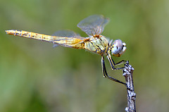 Image courtesy of Flickr Creative Commons - Dragonfly by Roberto.Jorge.