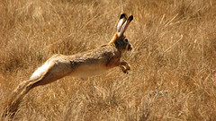 Image courtesy of Flickr Creative Commons - Running Ethiopian Highland Hare (Lepus starcki) by Jeffrey Kerby
