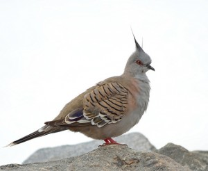 King Pigeon 1 A