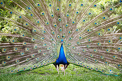 Image courtesy of Flickr Creative Commons - Peacock on display by Aldan.