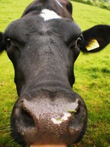 Cow Face A 2