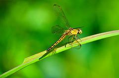dragonfly also grasshopper  maksikanagasana  animalia
