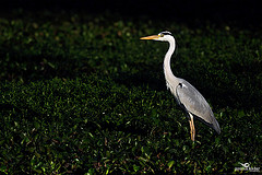Image courtesy of Flickr Creative Commons - Grey Heron by Poorna Kedar.