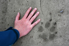 Image: Wolf Print on the Anaktuvuk River, courtesy of Paxson Woelber and Flickr Creative Commons